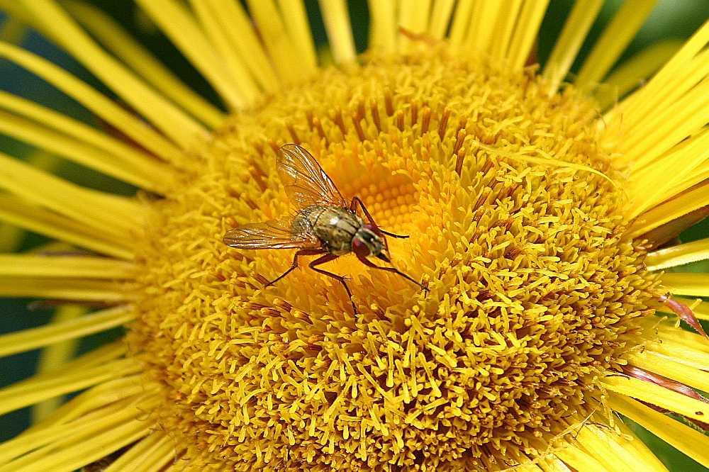 gelbe Blüte mit Fliege
