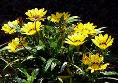Gelbe Blütenpracht auf schwarzer Lava