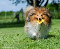 Gelbe Blume an Sheltie