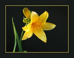 Gelbe Blume Teil II
