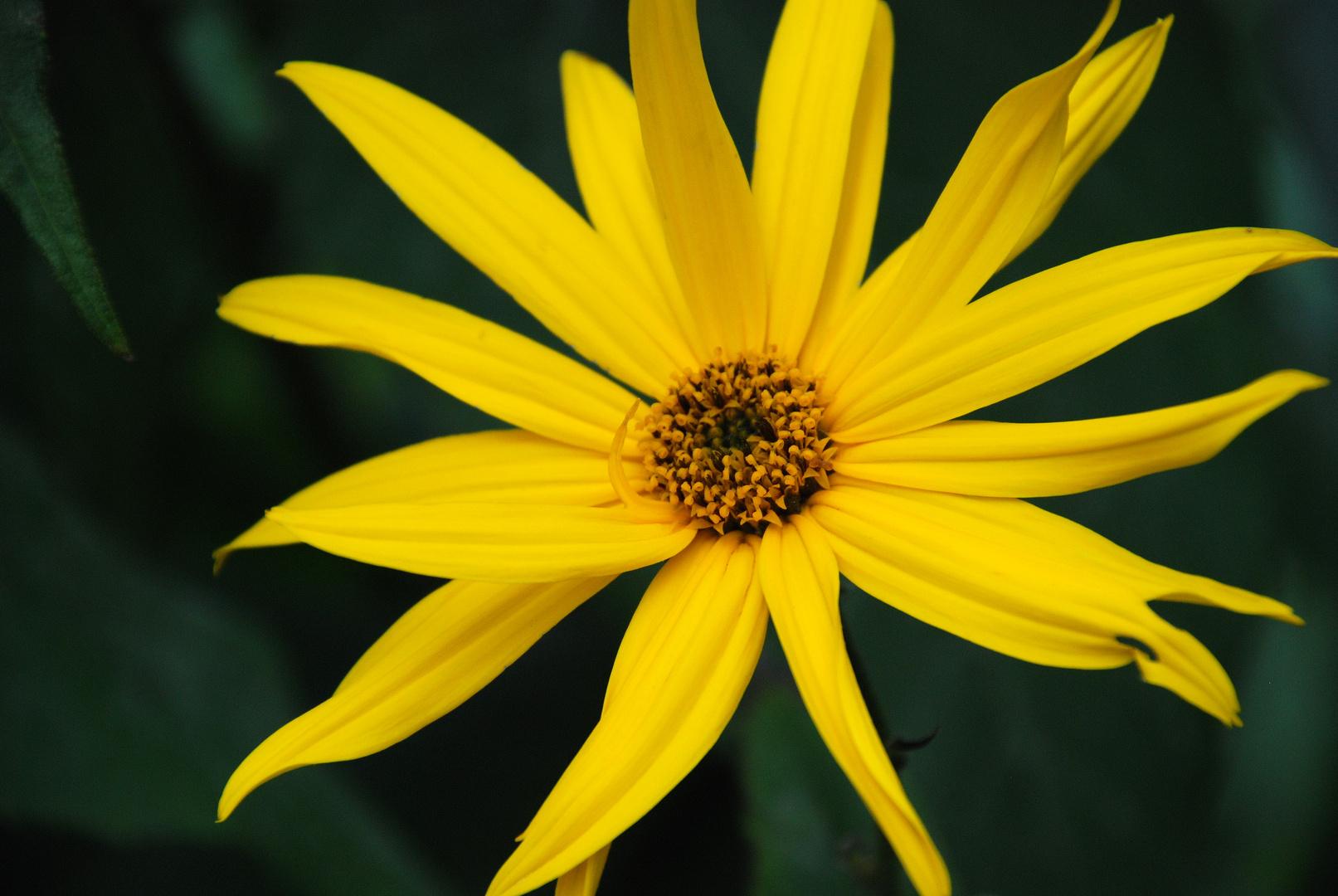 Gelbe Blume. Wie heisst die nochmal?