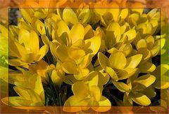 Gelbe Blumenpracht