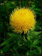 Gelbe Distel