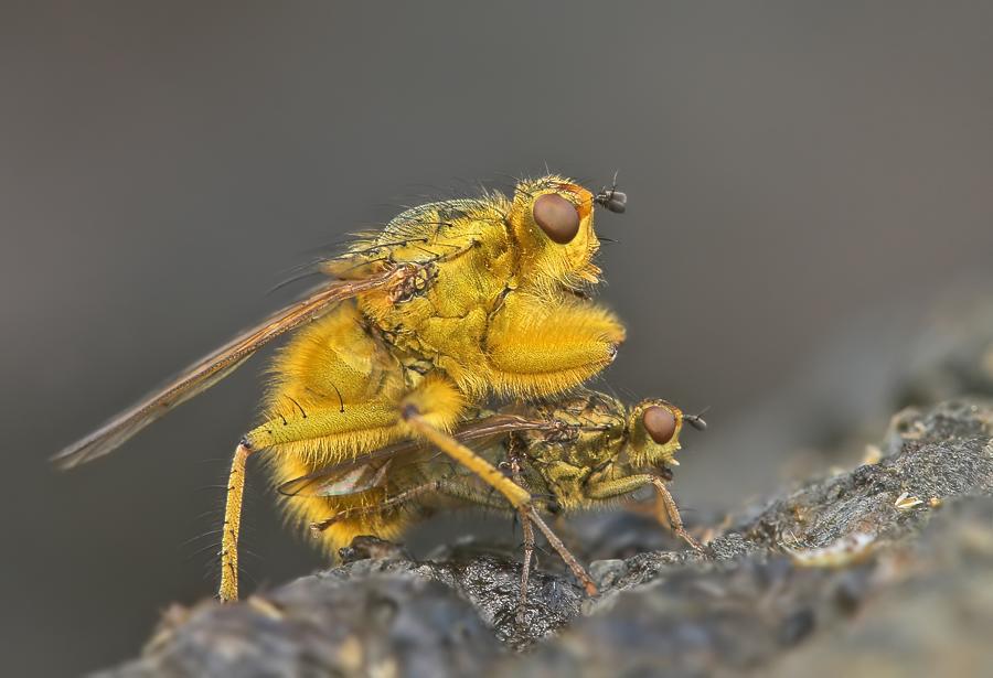 Gelbe Dungfliege
