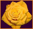 gelbe equevador rose