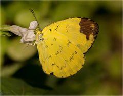 Gelbe Exotenschönheit