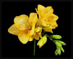 gelbe Freesie als Sonntagsgruß