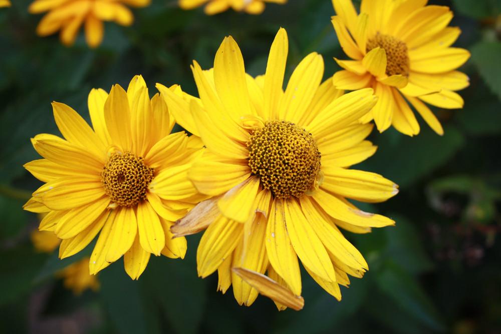 gelbe gartenblume foto bild pflanzen pilze flechten. Black Bedroom Furniture Sets. Home Design Ideas
