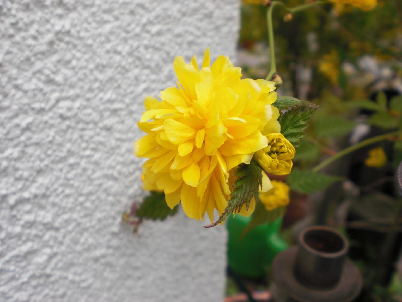 Gelbe Gartenblumen