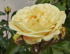 gelbe große Rosenblüte