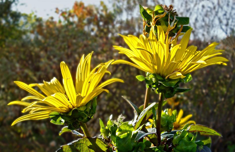 gelbe herbstblumen foto bild jahreszeiten herbst bl ten bilder auf fotocommunity. Black Bedroom Furniture Sets. Home Design Ideas