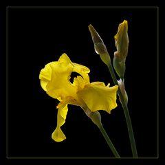 gelbe Iris mit Durchblick . . .