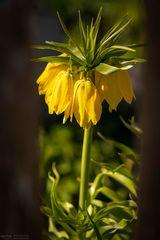 Gelbe Kaiserkrone