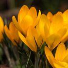 Gelbe Krokus