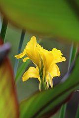 Gelbe Lilie color 3828