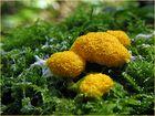 *Gelbe Lohblüte*