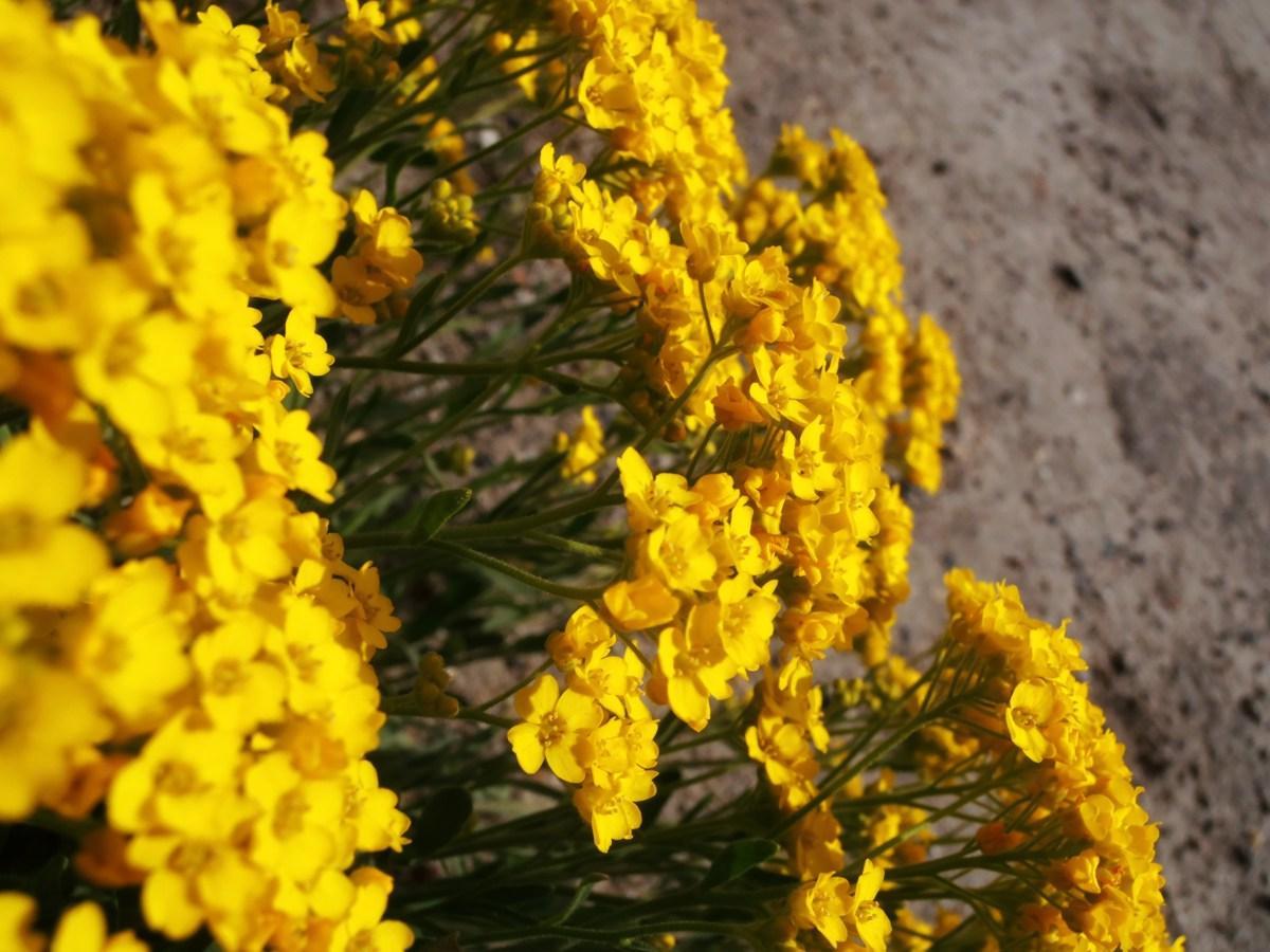 Gelbe Mini-Schönheit an einem Steinsockel