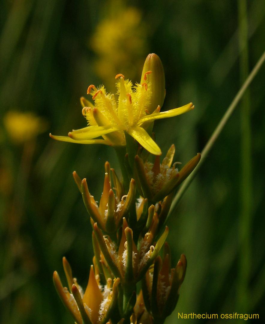 Gelbe Moorlilie (Narthecium ossifragum) - Blume des Jahres 2011