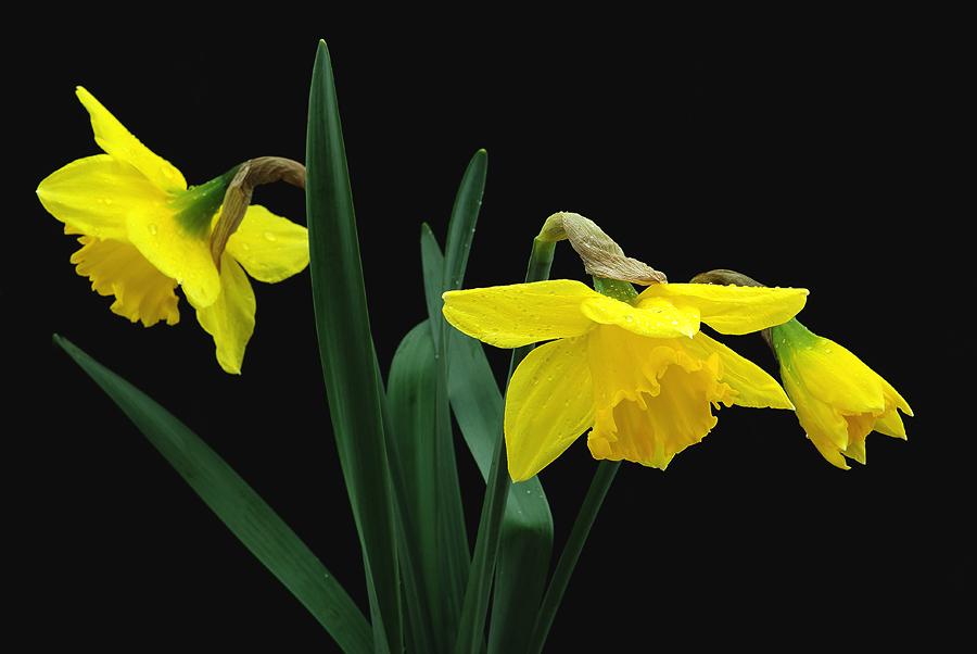 Gelbe Narzisse oder Osterglocke genannt
