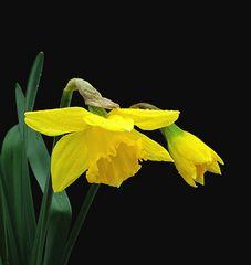 Gelbe Narzisse oder Osterglocke genannt 2