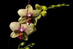Gelbe Orchidee vor schwarzem Hintergrund