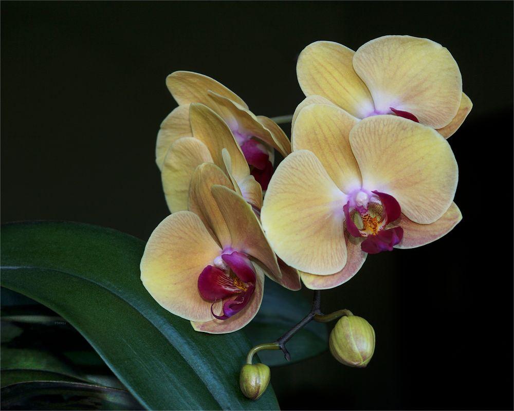 Gelbe Phalaenopsis-Blüten