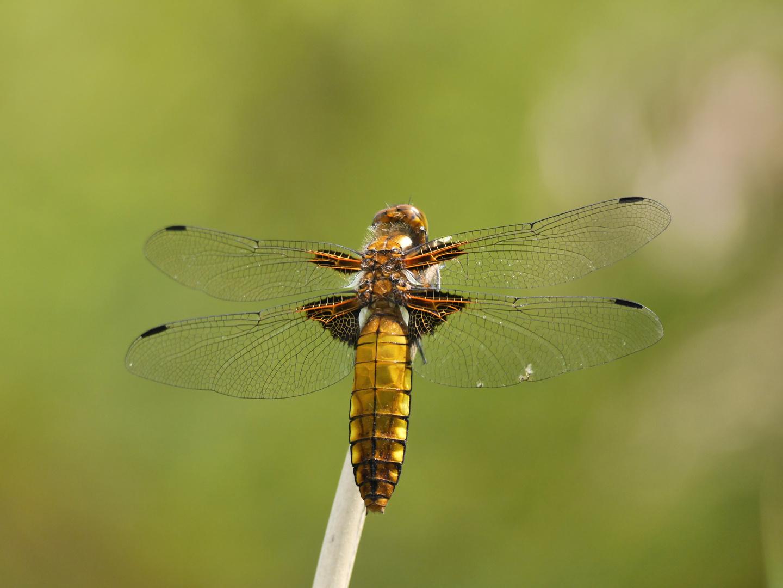 gelbe Plattbauch - Libelle