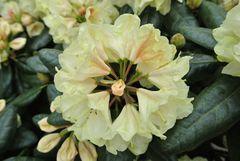 Gelbe Rhododendronblüte