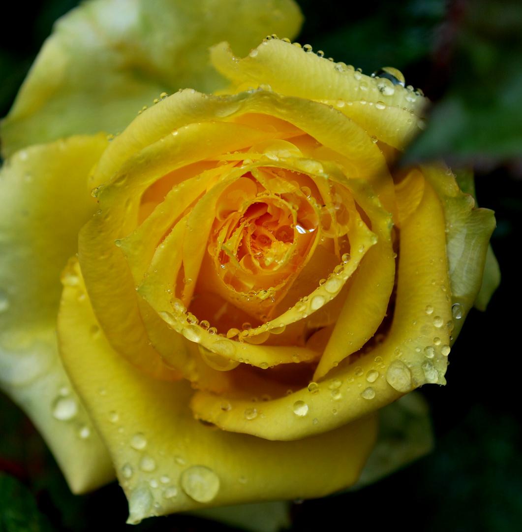 Berühmt Gelbe Rose Foto & Bild | pflanzen, pilze & flechten, blüten @KK_53
