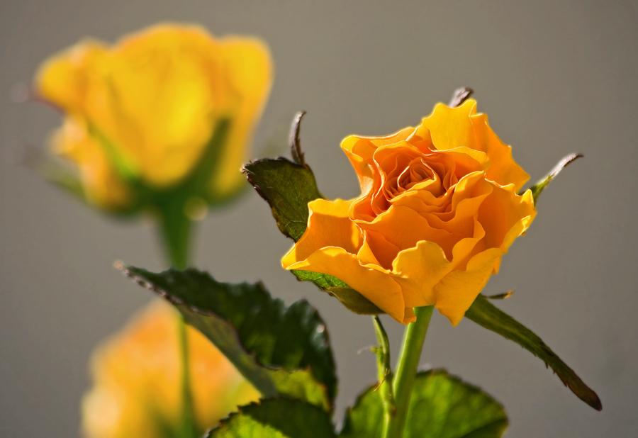 Gelbe Rose!