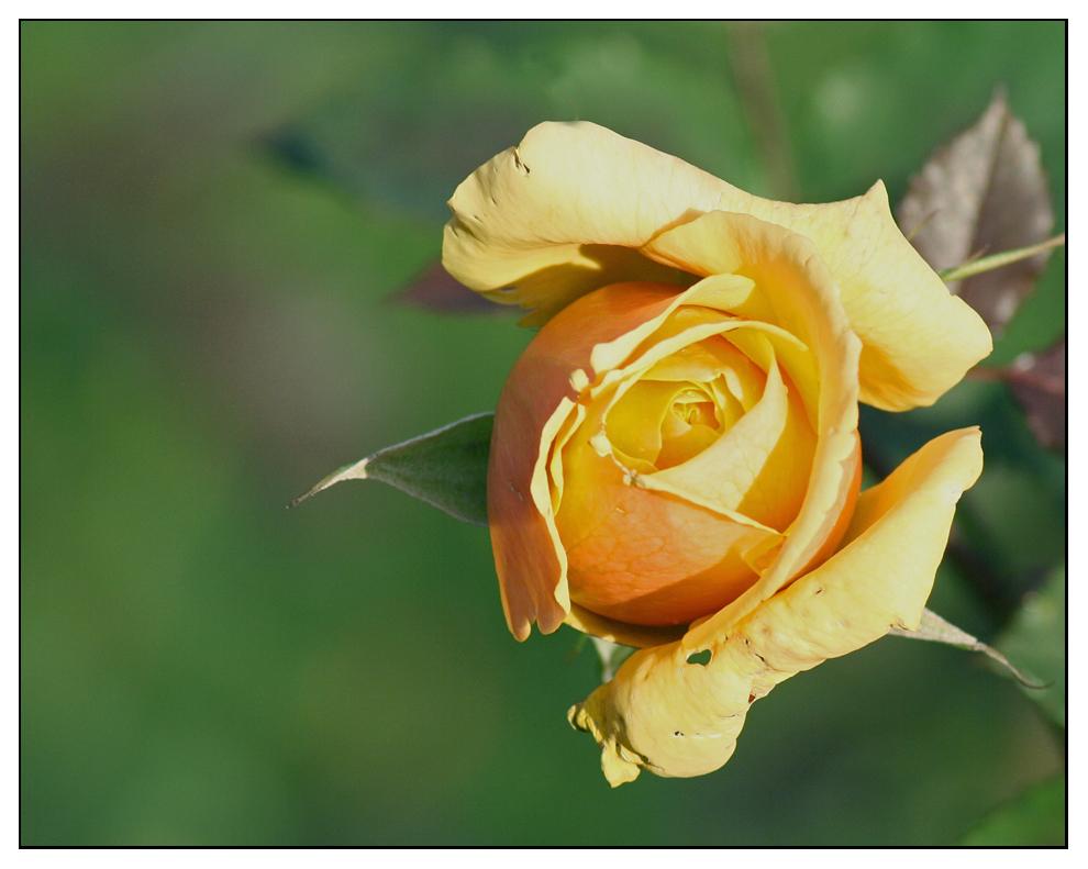 Gelbe Rose im Dezember