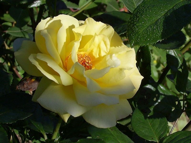 gelbe Rose im Morgentau