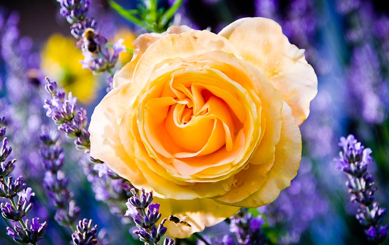 Gelbe Rose in Lavendel Bett
