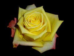 Gelbe Rose in schwarz