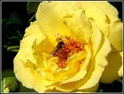 gelbe Rose mit ...