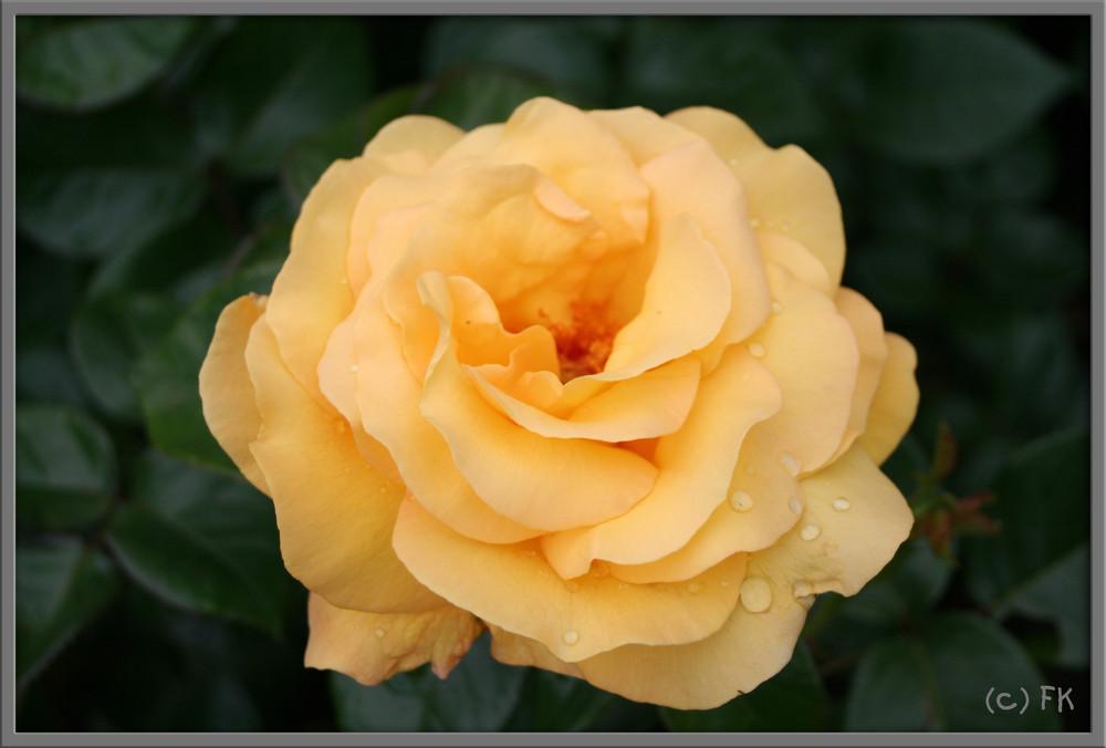 Gelbe Rose mit Wasserperlen