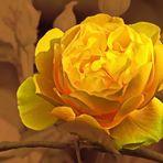 GELBE ROSE  - Optimismus, Herzlichkeit, Heiterkeit und Glück.