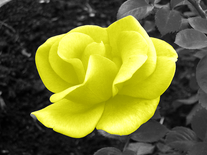 Gelbe Rose & S/W