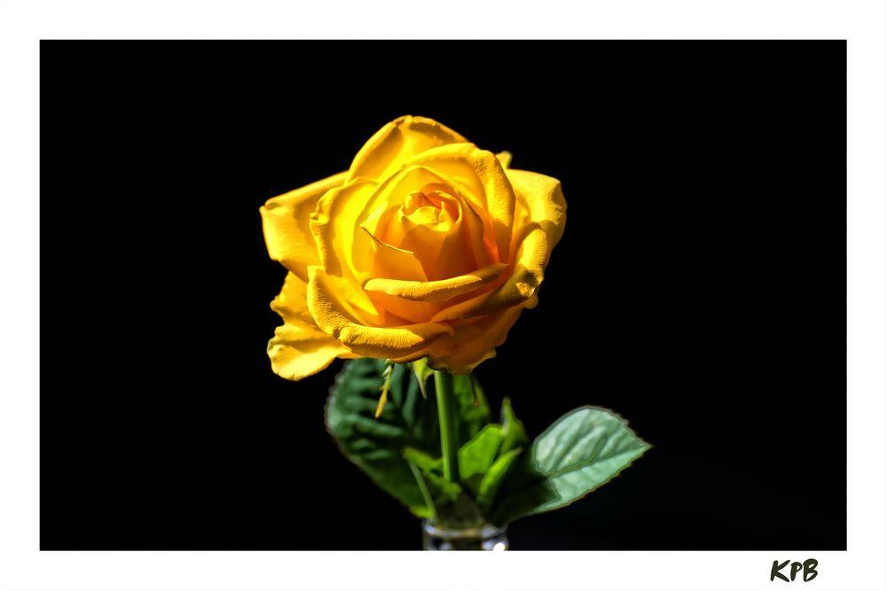 gelbe Rose zum Mittwoch