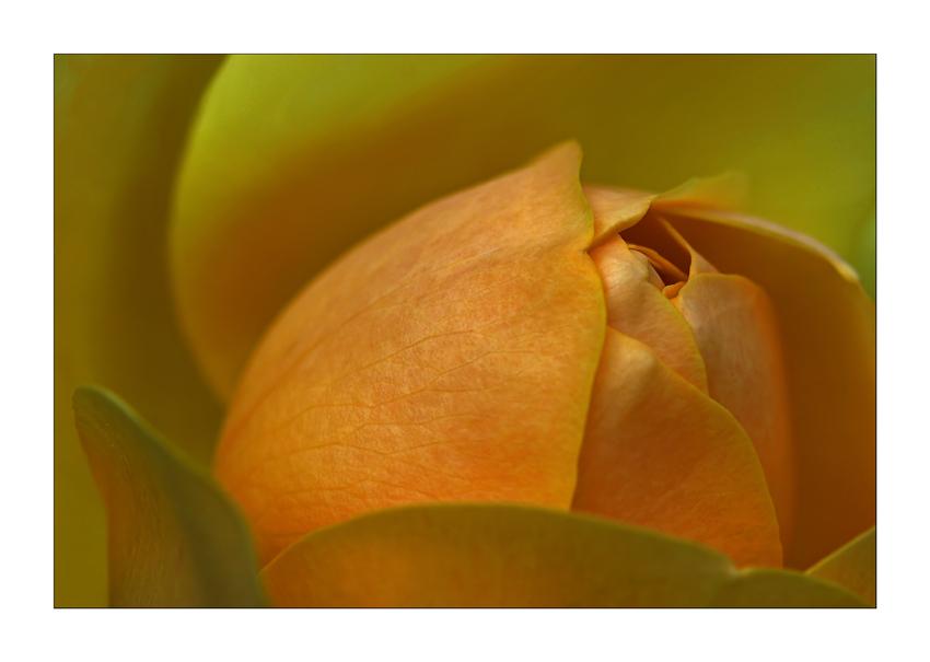 Gelbe Rosen ..