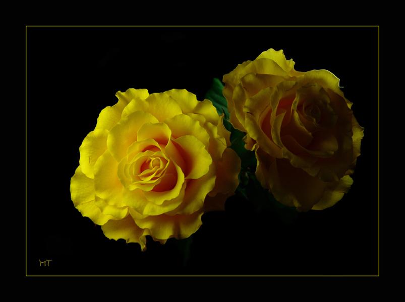 Gelbe Rosen zwischen Licht und Schatten
