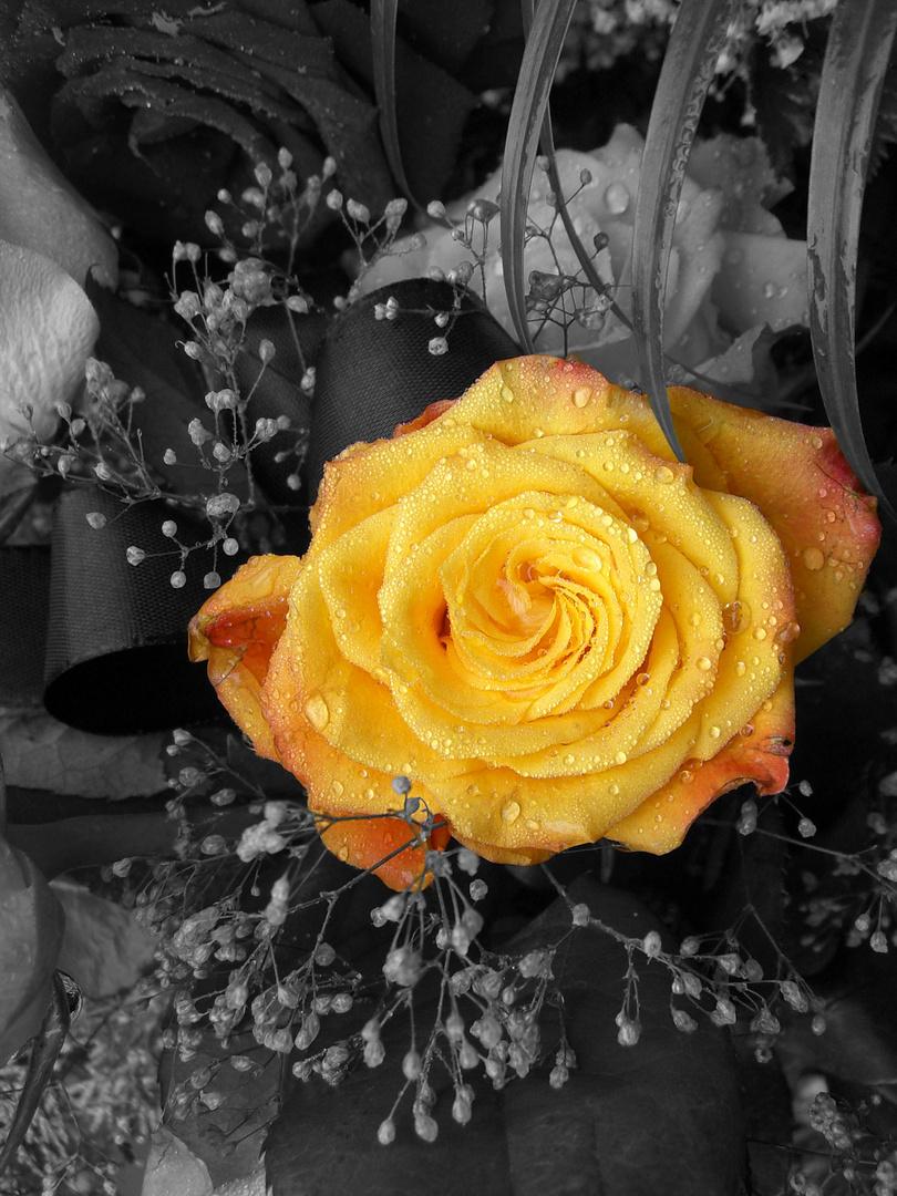 gelbe Schöne