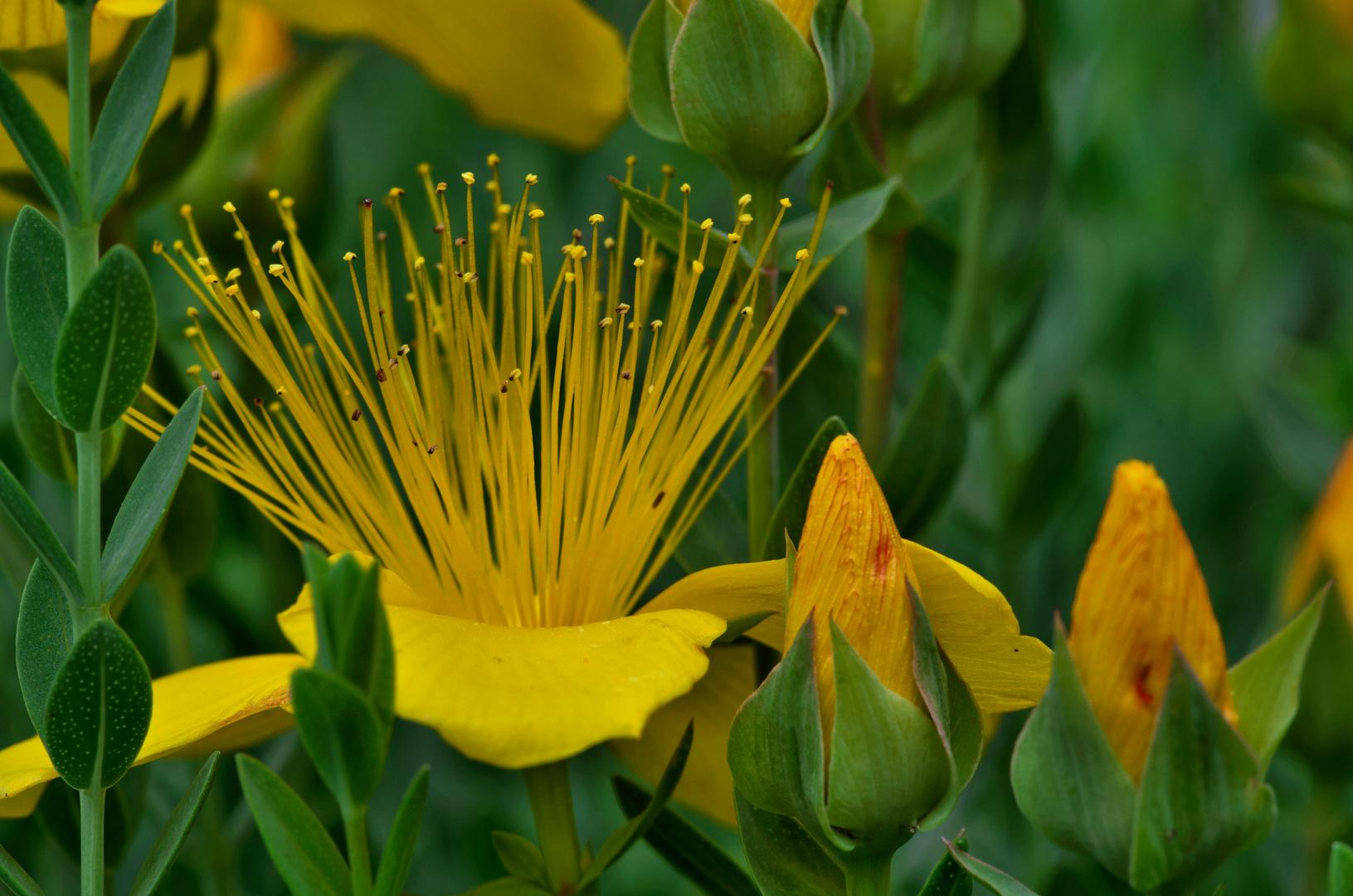Gelbe Schönheit 1