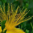 Gelbe Schönheit 2