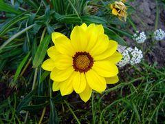 gelbe Schönheit #2
