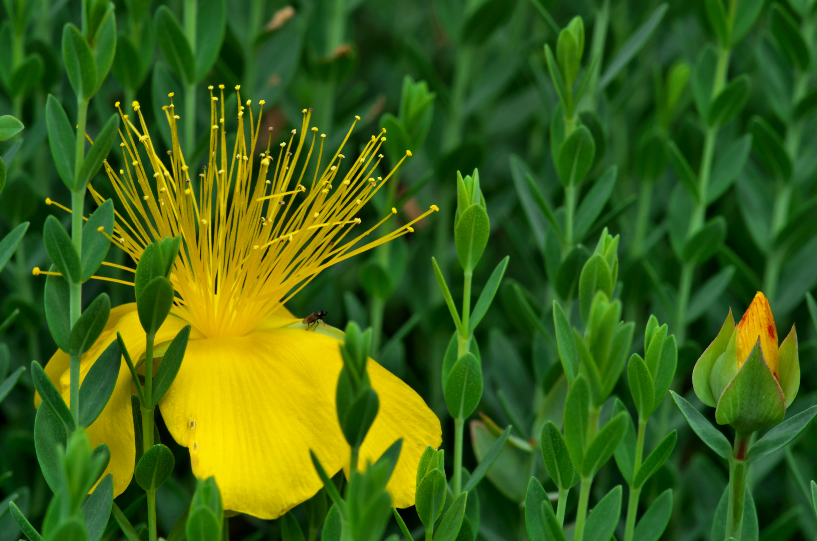 Gelbe Schönheit 3