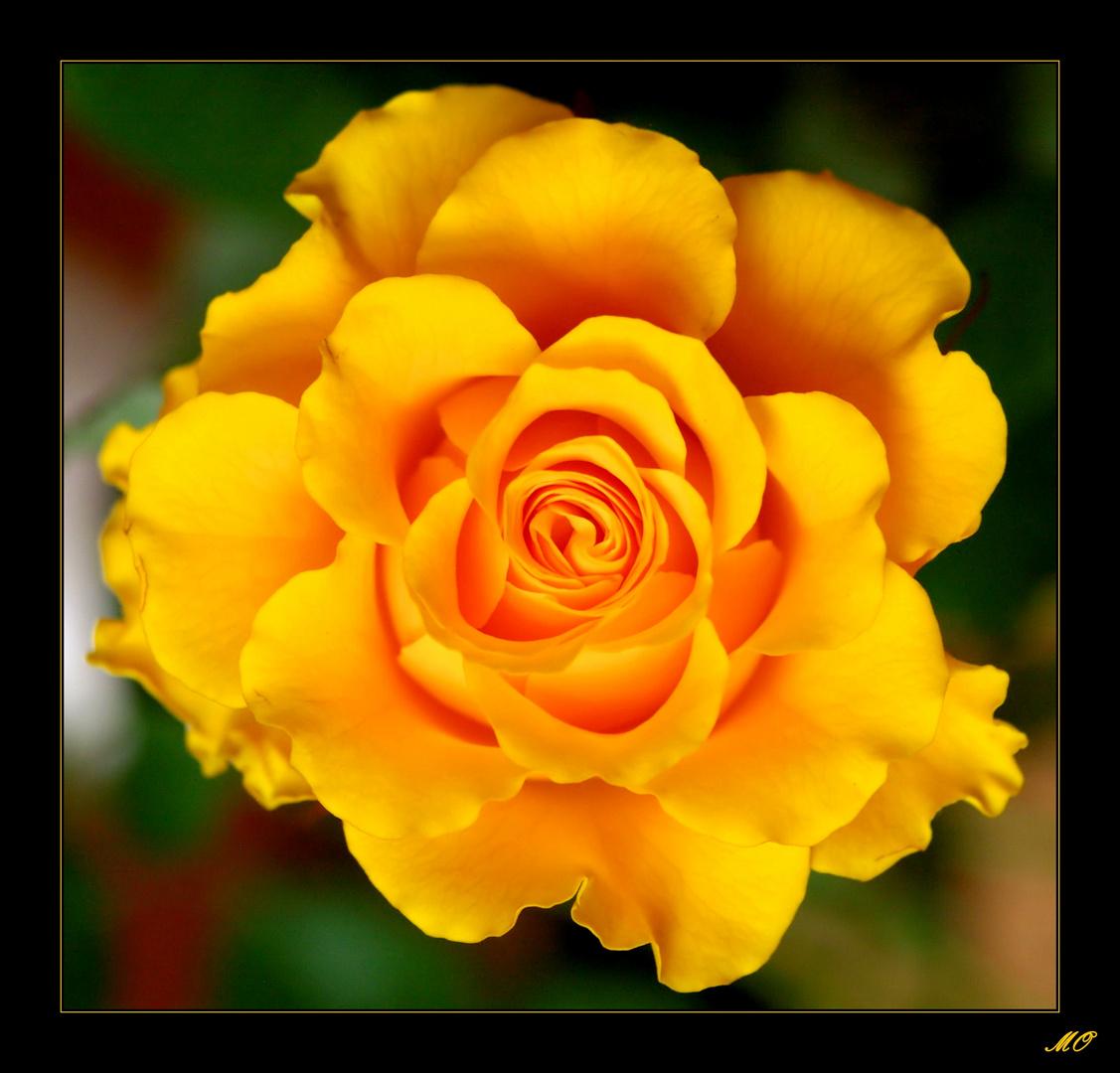 -gelbe Schönheit-