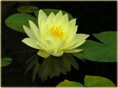 "Gelbe Seerose mit Spiegelung (Nymphaea Hybride ""Joey Thomocik"")"