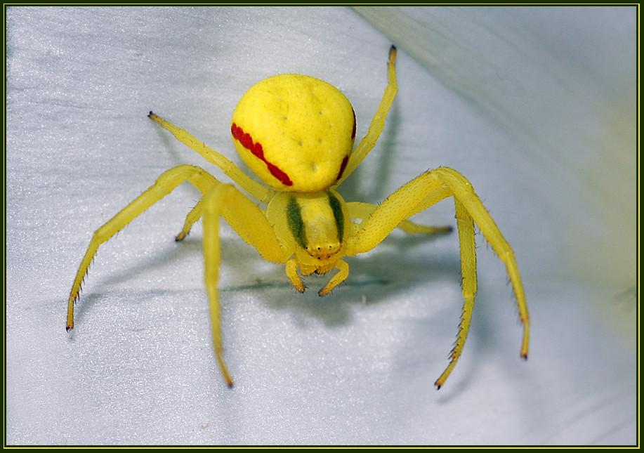 gelbe spinne foto bild tiere wildlife spinnen bilder auf fotocommunity. Black Bedroom Furniture Sets. Home Design Ideas