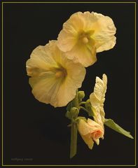 Gelbe Stockrosen-Malven